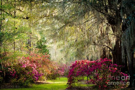 Magnolia Gardens On by Magnolia Plantation And Gardens Photograph By Iris Greenwell