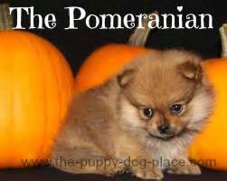 pomeranian puppy care guide pomeranian care new owner s guide