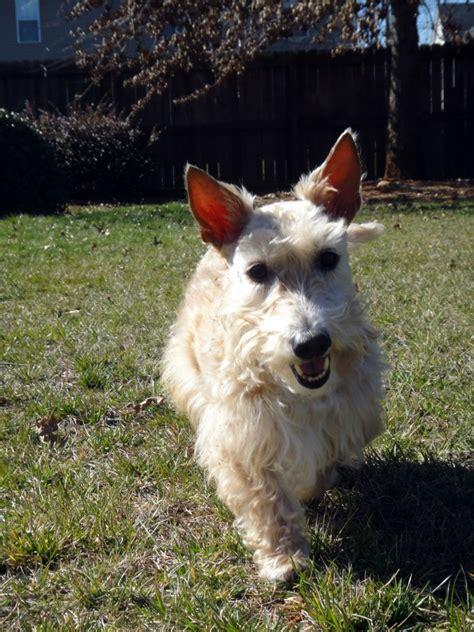 liposarcoma in dogs liposarcoma in dogs scottie