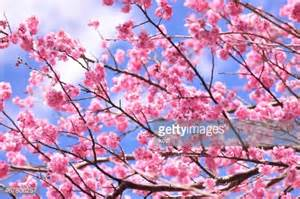 cherry blossoms images cherry blossom stock photos and pictures getty images