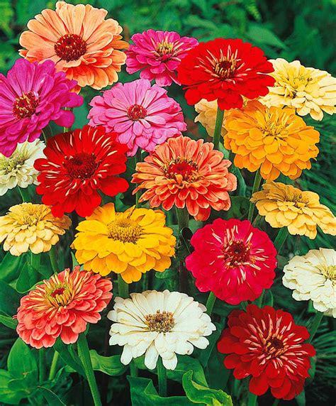 zinnia fiore achetez maintenant des graines de fleurs zinnia 224 fl de