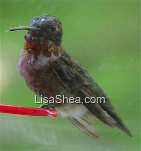 ruby throated hummingbird birds in sutton massachusetts