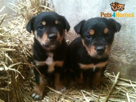 australian kelpie puppies for sale kelpie x huntaway puppies for sale hereford herefordshire pets4homes