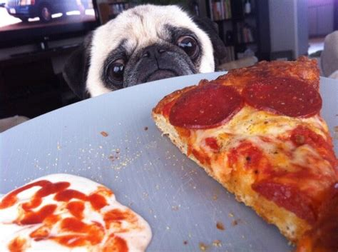 pug pizza 8 dogs who just really want one tiny slice of your pizza okay