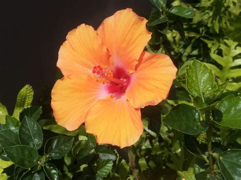 state flowers hibiscus hawaii state flower state flowers pinterest