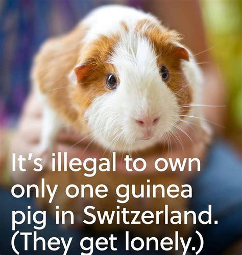 Guinea Pig Meme - the best guinea pig memes memedroid