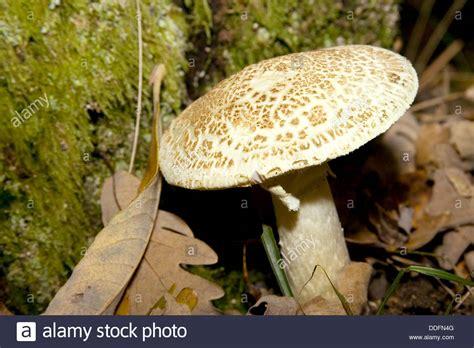 setas de espaa y 8499281354 hongos setas sierra de guadarrama segovia castilla y le 243 n espa 241 a stock photo royalty free