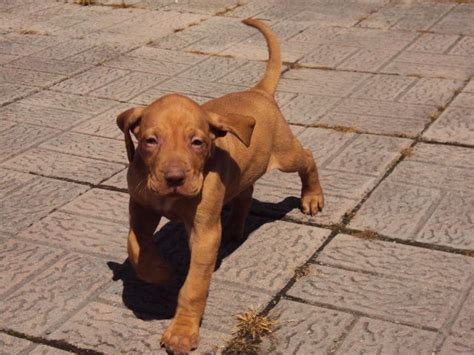 vizsla puppies for sale hungarian vizsla puppies for sale carlisle cumbria pets4homes