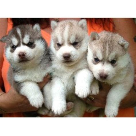 siberian husky puppies for sale in nh seraphic siberians siberian husky breeder in barrington new hshire listing id