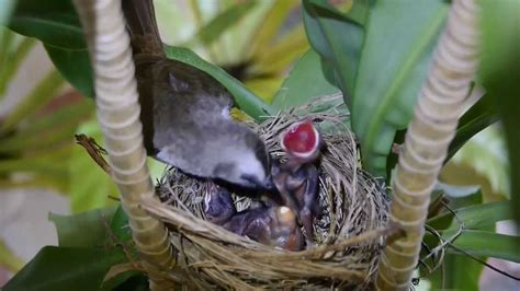 how to keep birds from pooping on my deck baby birds and pooping yellow vented bulbul