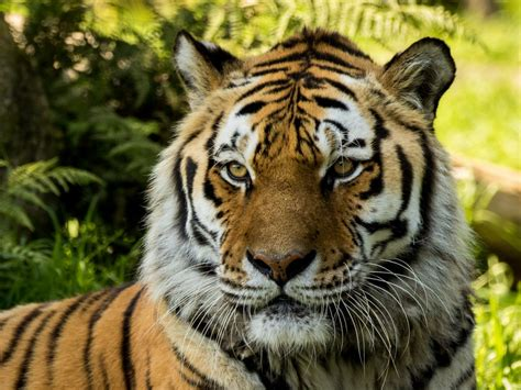 wallpaper siberian tiger dartmoor zoo hd animals