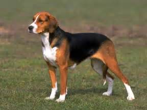 Beagle in History of Foxhound ~ Bullcatdog