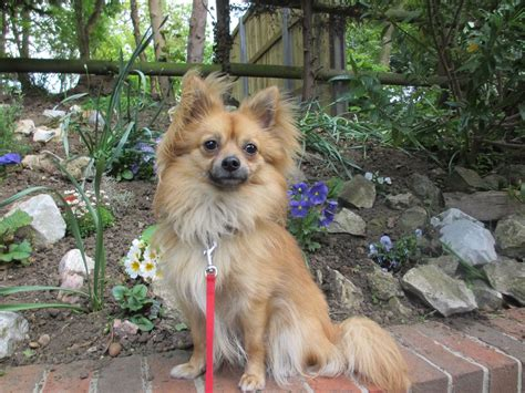 chihuahua pomeranian help i think i a papillon mix but need your help