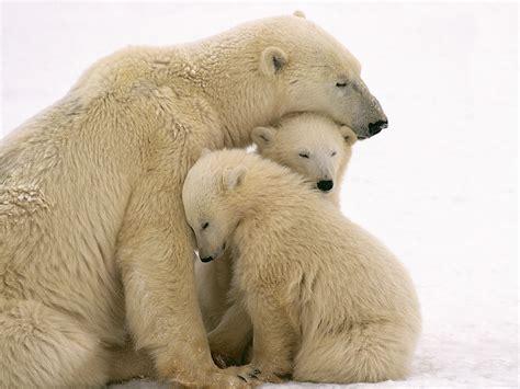Bears White n wonderful world of animals