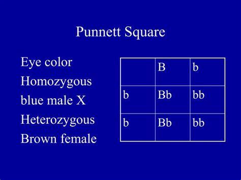 punnett square for eye color punnett square eye color www imgkid the image kid