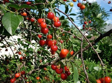 cherry tree jams a brown sour cherry freezer jam