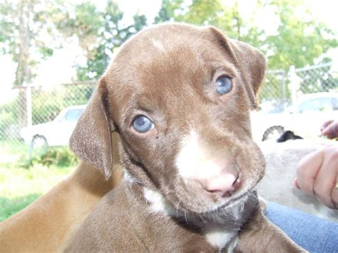 puppies with blue large with blue breeds picture
