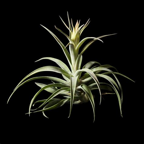 gallery russell s bromeliads