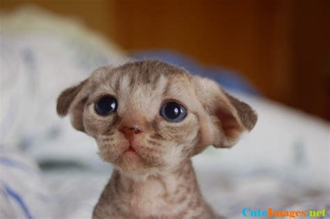 The cutest devon rex kitten ever! funny   CuteImages.net