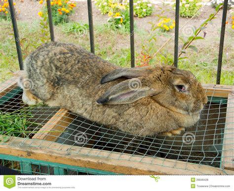 Rabbit Hutch Prices Big Rabbit Stock Photo Image Of Keep Farm Homestead