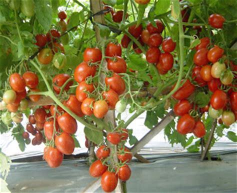 Bibit Terong Bulat Besar cara menanam tomat yang baik pertanian sukses