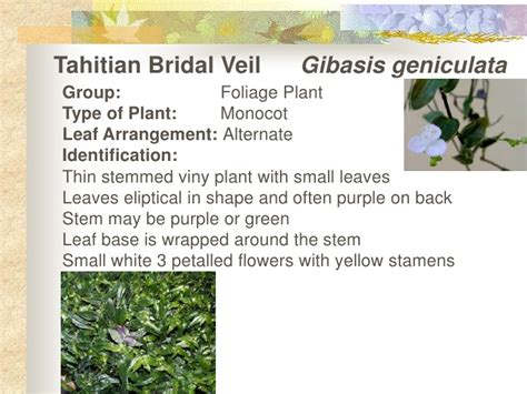 how to care for a bridal veil plant garden guides tahitian bridal veil show