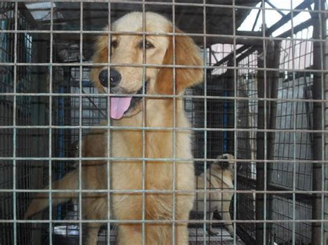 golden retriever philippines golden retriever for sale adoption from panga adpost