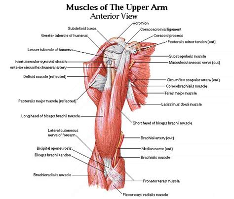 arm muscles diagram release your biceps and free your arms shoulders and neck