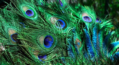 bird with colorful feathers peacock feather colorful 183 free photo on pixabay