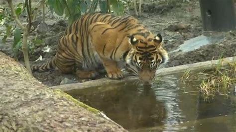 zoo home for sumatran tigers news