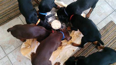 puppy pinwheel doberman puppies form a pinwheel as they walk in unison around their dinner bowl