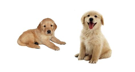 pet adoption golden retriever golden retriever puppies for adoption bazar
