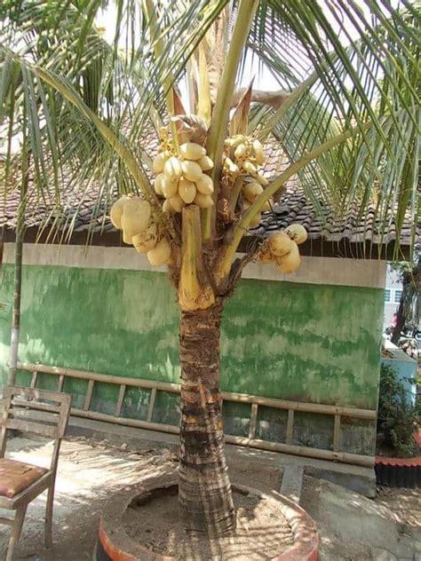 Bibit Tanaman Lengkeng Gading tips menanam pohon kelapa gading di depan rumah bibit