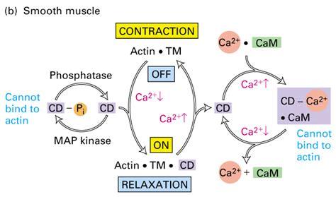 molecular mechanisms of atherosclerosis ebook caldesmon فیزیولوژی پزشکی دکتر نورآبادی