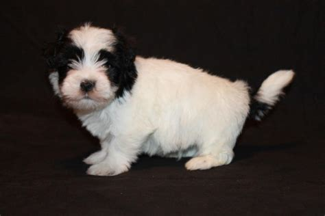 havanese puppies adoption pets bossier city la free classified ads