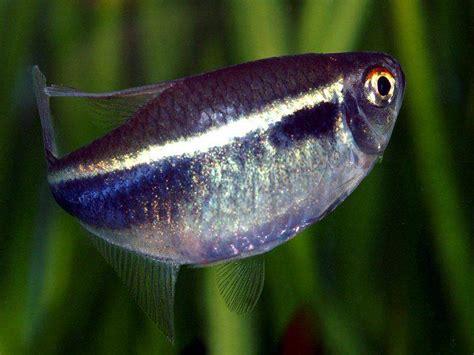 Black Neon Tetra Amazing Fresh Water Fish Neon Tetra