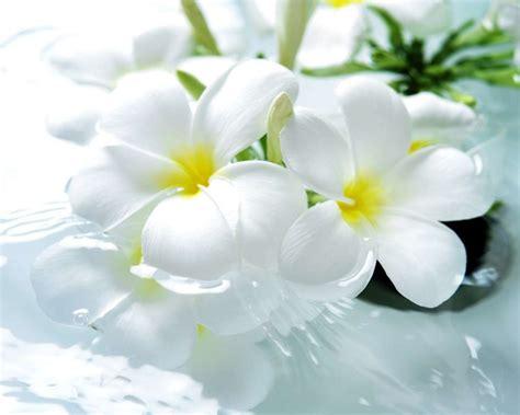 imagenes de rosas blancas naturales خلفيات زهور 6 البوم الصور d1g