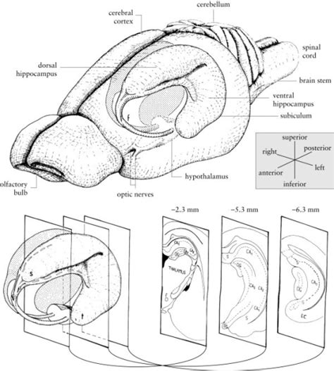 rat brain coronal sections diagram of the rat hippocus drawings of the rat bra