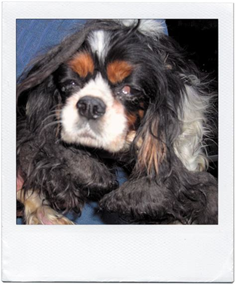 amish puppies amish breeders heat news lead cleveland