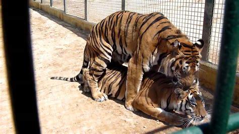 minicuentos de tigres y tigres apareandose youtube