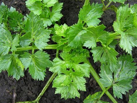 foglie di sedano la coltivazione sedano coltivare orto coltivare il