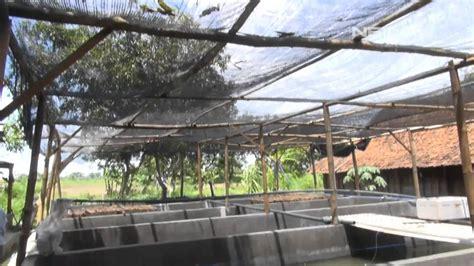 Bibit Ikan Sidat Jawa Timur net12 kolam sidat di lamongan jawa timur pasar ikan terbuka lebar