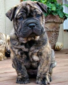 pugs for sale ebay pug and shar pei ori pei pug pug mixed breeds more shar pei and