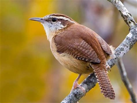 South Florida House Plans by Carolina Wren Identification All About Birds Cornell