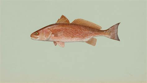 is that a fish red drum fish wallpaper
