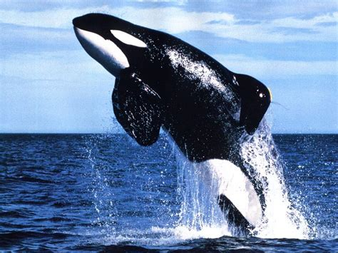 killer whale world animal beauti and killer whale