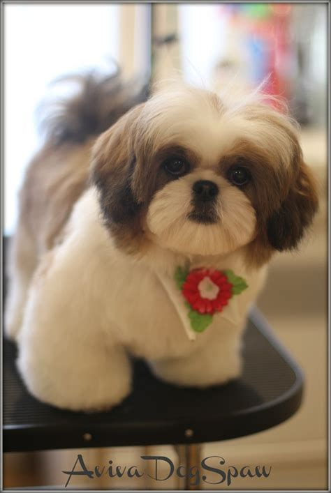 how to shave a shih tzu shih tzu with top lip shave hmmmm looks may to do that i the look of