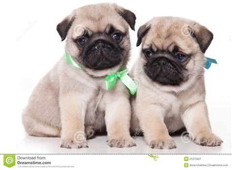 free pugs pug puppies for free 1 background wallpaper dogbreedswallpapers