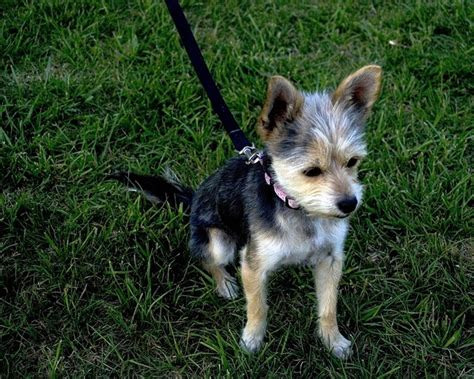 black yorkie chihuahua mix yorkie terrier and chihuahua mix chihuahua terrier mix animals