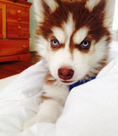 the red husky. stunning pics + tips for owners | mhl